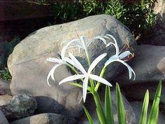 Bog Lily White Aquatic Water Pond Wetlands Plant | Extra Large Bulb | Bonnie's Plants | Aquatic Plants | Home Pond Plants