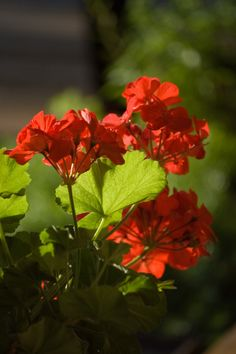 Pruning geraniums can help keep them looking their best. Cutting back geraniums will prevent woody and leggy geraniums, especially in geraniums that have been overwintered. Find pruning information here.