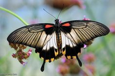 Great Mormon (Papilio memnon)  This Mormon pin is loved at www.MormonLink.com