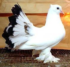 What a pretty. Weird Birds, All Birds, Pigeon Pictures, Bird Pictures, Lahore Pigeon, Beautiful Birds, Animals Beautiful, Cute Pigeon, Fantail Pigeon