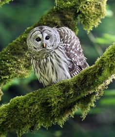 Barred Owl by Canonshooterman.