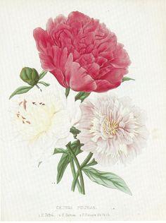 Vintage Botanical Print of Peony by Prestele by GalleryBotanica