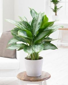 Best Indoor Plants for clean air best indoor plants for low light large indoor plants indoor plants for sale planter ideas Chinese Evergreens 'Silver Bay' product photo