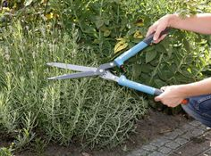 Lavendel richtig schneiden If lavender is still growing compactly and blooming after several years, Growing Herbs, Growing Vegetables, Diy Garden Projects, Garden Tools, Le Baobab, Winter Vegetables, Vegetable Garden Design, Natural Garden, Back Gardens