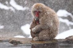Mother and Child [+2pics] | by Kiyo Photography ニホンザル Japanese macaque/snow monkey(Macaca fuscata)