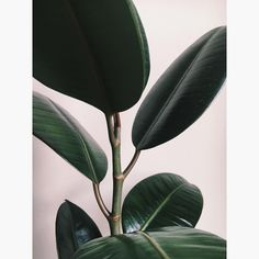 Rubber Plant, Rubber Tree, Ficus Elastica, All About Plants, Tropical Leaves, Plant Leaves, Flora, Green, Pots