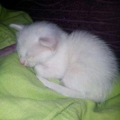 #oliver #cats #blanco #lindo