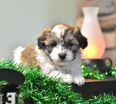 Lancaster Puppies has lots of hybrid breeds like the poodle mix. Find your furry friend here! Puppies For Sale, Dogs And Puppies, Poodle Mix Puppies, Lancaster Puppies, Purebred Dogs, Animals Dog, Mixed Breed, Cuddles, New Puppy
