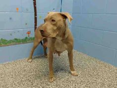 """***URGENT/VERY OVERDUE/SUBJECT TO BE DESTROYED AT ANY TIME*** STEPHANIE #A481412 (AVAILABLE 5/7) DUMPED W/O HER PUPPIES! ~Alice Chow """"Stephanie is a happy, loving girl, full of positive energy. She was dumped and her puppies were taken away from her. Yet she is still so happy and loving. She kept pushing her body against the kennel gate to get closer to me when I was rubbing her. She's URGENT!!!"""" I am a female, fawn and white Pit Bull Terrier. I have been at the shelter since Apr 30…"""