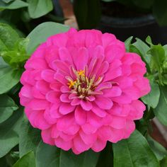 You can still plant for late summer-fall color with easy to grow Zinnias like new Holi Pink. By planting now, when other flowers are waning, these flowers will be ready to bloom and bring new color to your garden! Late Summer, Summer Garden, Autumn Summer, Home And Garden, Garden Spaces, Garden Plants, New Holi, Planting, Gardening