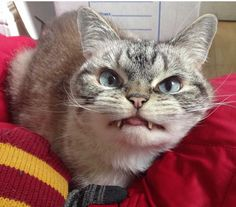 """Forget vampire bats, let's talk about vampire cats! Meet Loki and his human companion """"Kaet."""" This devious looking feline has been making the rounds on social media because of his unusual teeth that make him look like a vampire. Now, he just might be the most evil looking cat online!"""