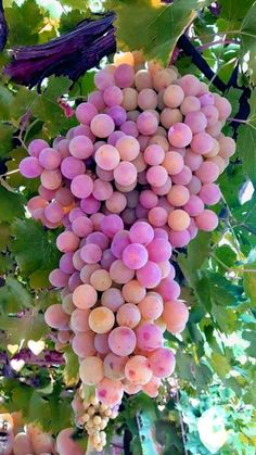 Grape Vine Species – Learn How to Grow Grapes Fruit Plants, Fruit Garden, Fruit Trees, Fruit And Veg, Fruits And Vegetables, Fresh Fruit, Beautiful Fruits, Beautiful Flowers, Wine Vineyards