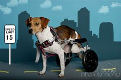 COURTESY POST: Bella is an approximately 1 to 1.5 year old beagle on wheels! No one knows exactly how she came to be differently abled, but our friends down south suspect that she was born without full use of her back legs. Nobody told Bella that...