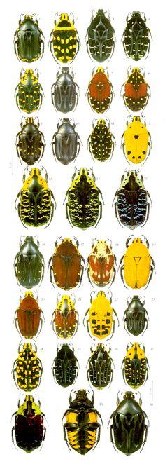 Euchroea species of Madagascar  Stenotarsiini