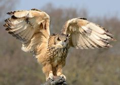 Beautiful snowy owl image