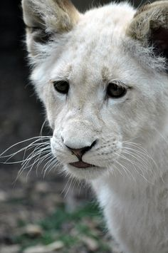 White Lion Cub | Flickr - Photo Sharing!