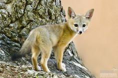San Joaquin kit fox (Vulpes macrotis mutica) kit on tree