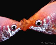 Kissing Gouramis - we used to have these. They were fun to watch.