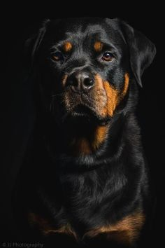 Rottweiler photograph by JJ Photography The best Rottweiler images. I love these beautiful dogs. Dog Training Methods, Basic Dog Training, Dog Training Techniques, I Love Dogs, Cute Dogs, German Dog Breeds, Pet Breeds, Positive Dog Training, Easiest Dogs To Train