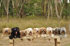 What a line up of beauties - Lhasa apso