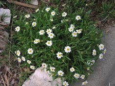 Blackfoot Daisy - extremely hardy low growing (tops out at 1 foot) flower, no water needs.  Melampodium Leucanthum_Black_Foot_Daisy_Texas_native_plant_waterwise