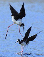 Hawaiian Stilt walking on water such a clever birdie showing off a little xox