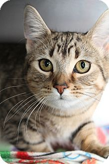 Southgate, MI - Domestic Shorthair. Meet Intake