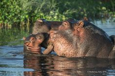 """The hippopotamus, or hippo, is a large, mostly herbivorous mammal in sub-Saharan Africa, and one of only two extant species in the family Hippopotamidae. The name comes from the ancient Greek for """"river horse"""" hippo baby Cute Hippo, Baby Hippo, Cute Baby Animals, Angry Animals, Animals And Pets, Beautiful Creatures, Animals Beautiful, Majestic Animals, Mundo Animal"""