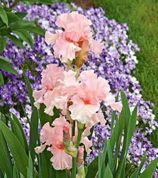 Reblooming Iris Lenora Pearl