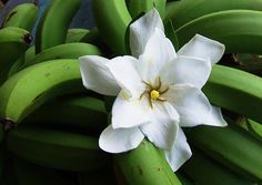 Saipan - morning gardenia