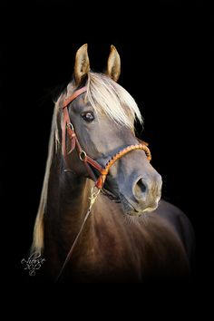 Amber - Rocky mountain horse