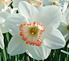 Narcissus Janis Babson  A fitting tribute to a young Canadian girl who made a difference, this pure-white, broad-petaled Daffodil features pretty pink rims on its deeply ribbed and ruffled cups, and greenish yellow eyes. 'Janis Babson' blooms in midseason. Large-cupped.