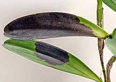 A Podridão Escura é uma das mais temíveis doenças que atacam orquídeas. É mais comum seu surgimento em épocas chuvosas ou quando o cultivador mantém muita u