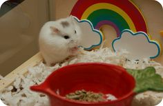 The Different Species of Pet Hamsters | Hammy Happenings