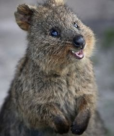 Quokkas smile.  This is a very, very good thing.   I want one.
