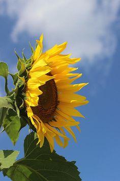 Sunflower Profile 2
