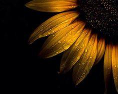Photo Backyard Flowers 28 Sunflower by Brian Carson on Sunflower Quotes, Sunflower Pictures, Sunflower Art, Yellow Sunflower, Sunflower Photography, Macro Photography, Yellow Photography, Sunflowers And Daisies, Fotografia Macro