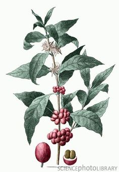 coffee plant - Google Search
