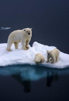 Polar bears :3