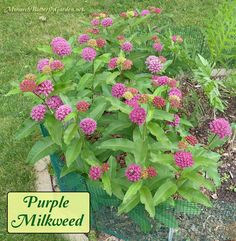 Purple Milkweed can take a little longer to flower than other milkweed varieties, but it's worth the wait to finally see in all its purple glory. Get more info on growing Asclepias purpurascens for monarchs...