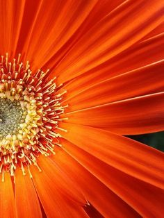 aesthetic This is one of my favorite shades of orange. This is one of my favorite shades of orange. Orange Flowers, Orange Color, Beautiful Flowers, Orange Orange, Burnt Orange, Orange Shades, Yellow, Beautiful Pictures, Big Flowers