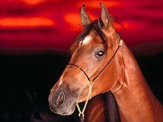 fotos de caballos de pura sangre | APARICIÓN DE LOS CABALLOS PURA SANGRE