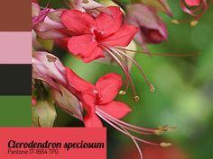 Coração-sangrento Clerodentron speciosum Pantone 17-1664 TPG
