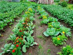Companion Planting With Vegetables and Flowers. The right plant combos will save space and provide weed and pest control. Each spring, I grow legions of… Kinds Of Vegetables, Growing Vegetables, Growing Plants, Raised Vegetable Gardens, Veg Garden, Farm Gardens, Outdoor Gardens, Bee Friendly Plants, Lawn Edging