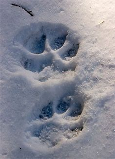 Wolf footprints in the snow.