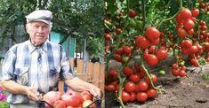 Chystáte se sázet rajčata? Toto je 5 nejlepších tipů od zahrádkářů, díky kterým budou šťavnaté, chutné a vyrostou opravdu rychle | iRecept.cz Flora, Vegetables, Gardening, Diet, Lawn And Garden, Plants, Vegetable Recipes, Veggies, Horticulture