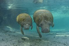 Photos by David R.Schrichte: Manatees at Three Sisters Springs All Gods Creatures, Sea Creatures, Manatee Florida, Protected Species, Manatees, Just Beauty, Three Sisters, Sea World, Marine Life