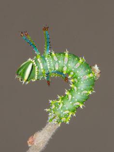 Honeylocust Moth caterpillar feeds on the foliage of Honeylocust and Kentucky Coffeetree.