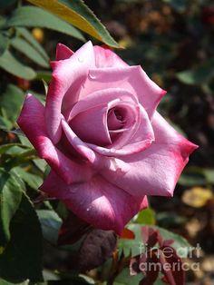 #roses #rose #macro #photography #art #ParadiseRose