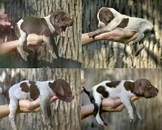 German Shorthaired Pointer Pup ~ Classic Look ~  heartbeats race in the cradle of our hands.